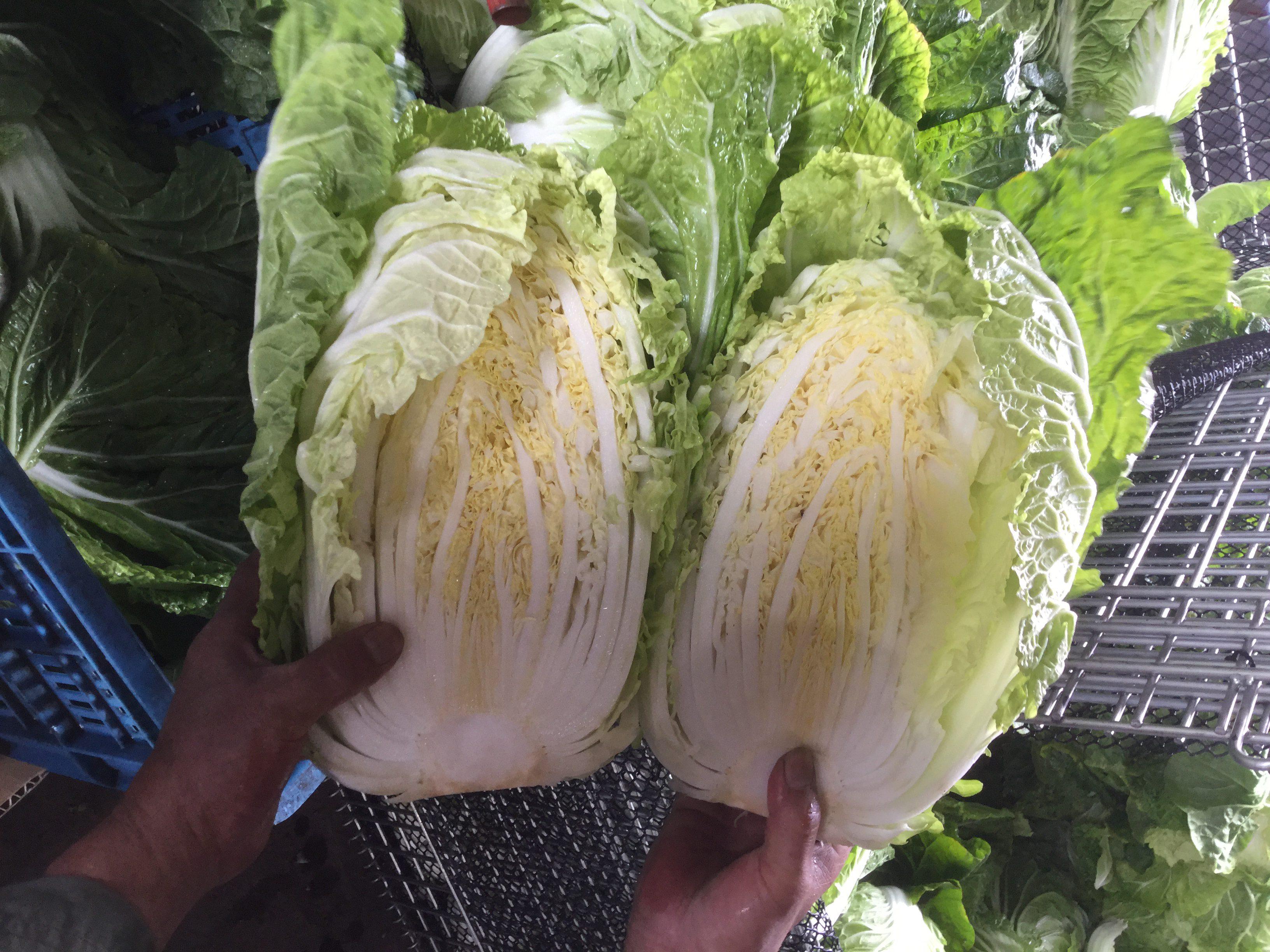 北海道幕別町 本田農場視察(白菜)